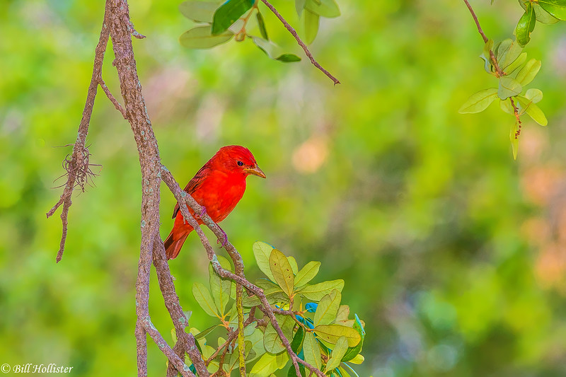 Summer Tanager male at Ft DeSoto 4-28-17-68-2