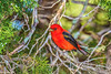 Scarlet Tanager female at Ft DeSoto 4-28-17-56-2