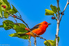 Scarlet Tanager at Ft DeSoto 4-16-18-5-2-2-3-2