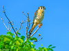 American Kestral at Everglades-1