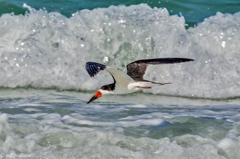 Black Skimmer at Lido Beach 6-6-18-4