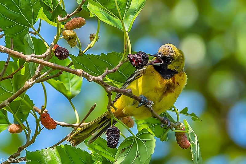 Orchard Oriole 1st Year Juvenile at Ft DeSoto 4-16-18-3-49-2-4