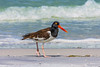 American Oystercatcher at Ft DeSoto 4-28-17-5
