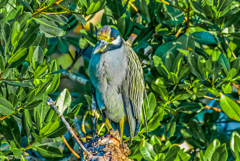 Yellow-Crowned Night Heron #1a 12-07 Ding Darling-2-2