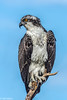 Osprey at Bailey Tract 5-24-18-18-3