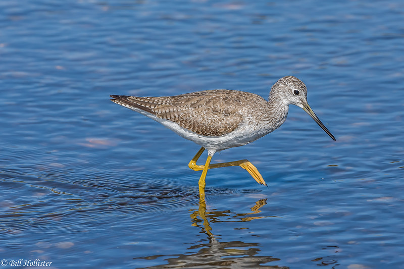Lesser Yellowlegs at Myakka-12