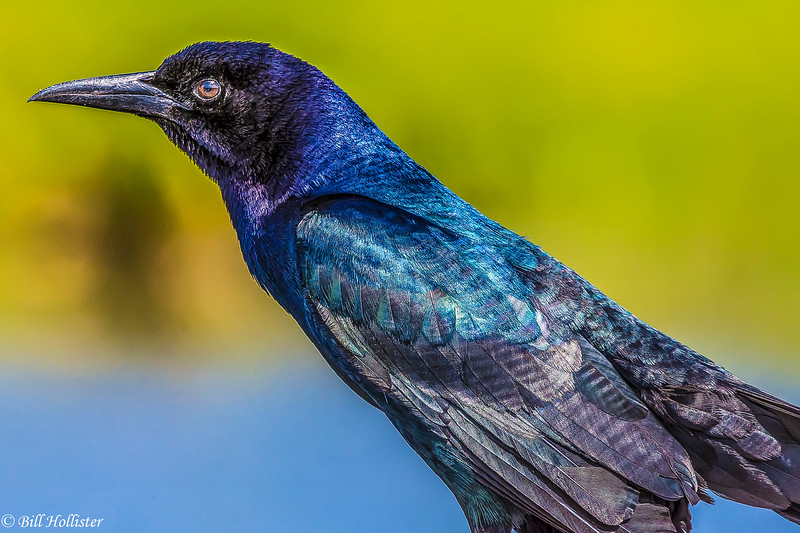 Boat-tailed Grackle at Celery Fields 4-25-17-16-Edit-2-2-2