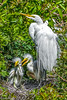 Great Egret at Venice Rookery 3-9-18-16-3-2