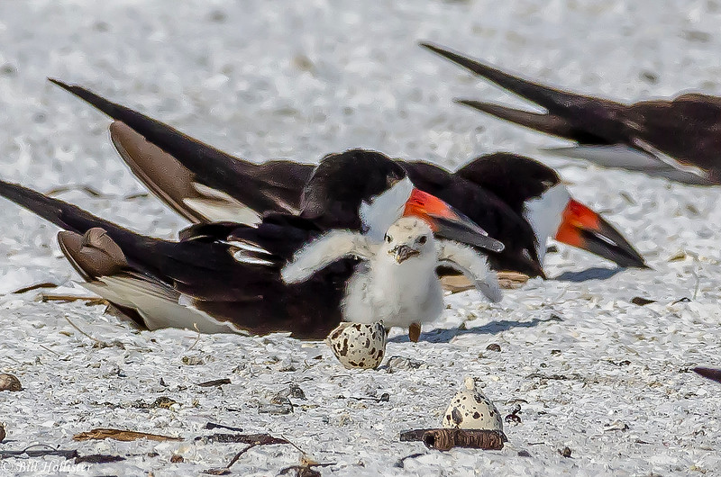 Black Skimmer at Lido Beach 6-6-18-43-4
