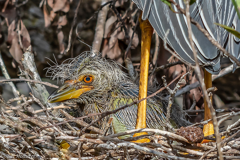 Yellow-crowned Night Heron with babies at Bailey Tract 5-25-18-4-2-2