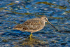 Short-billed Dowitcher at Myakka 5-1-18-4-3-2