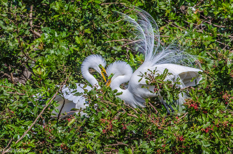 Great Egret at Venice Rookery-1-2