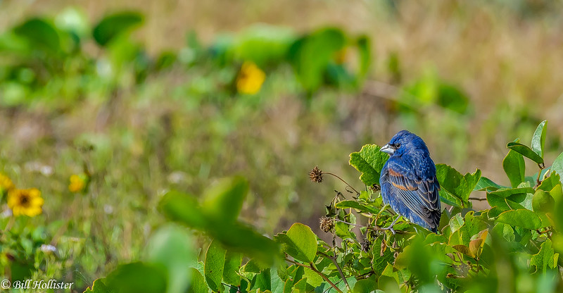 Blue Grosbeak at Ft DeSoto 4-16-18-3-2-3-2