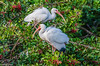 White Ibis at Venice Rookery-2-2