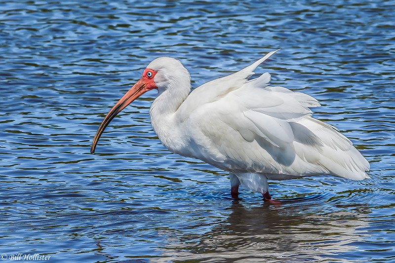 White Ibis in Water