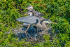 Great Blue Heron with chicks at Venice Rookery 2-21-2017 #34-2