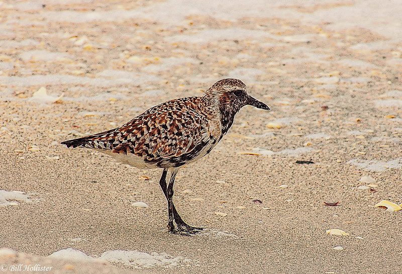 Ruddy Turnstone juvenile on Florida beach -1-2-2