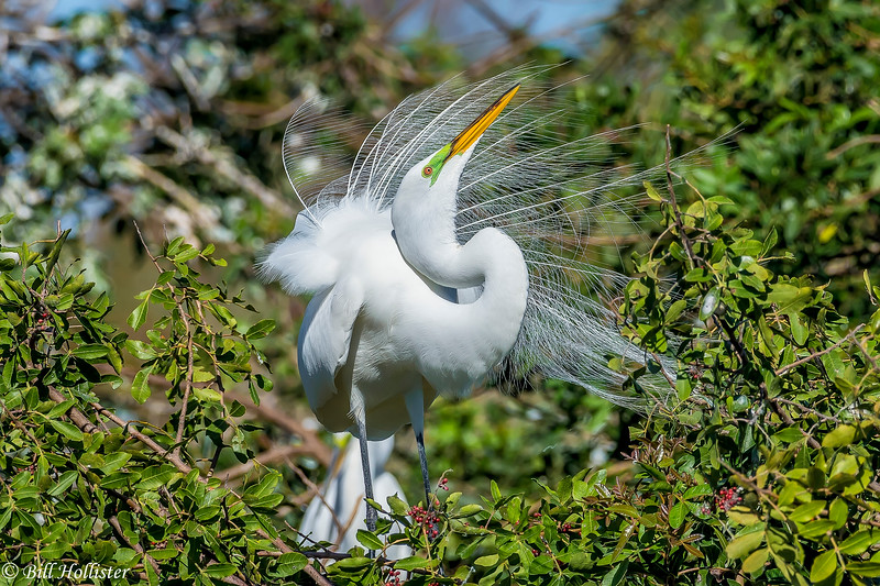 Great Egret at Celery Fields 2-5-18-4-3-2