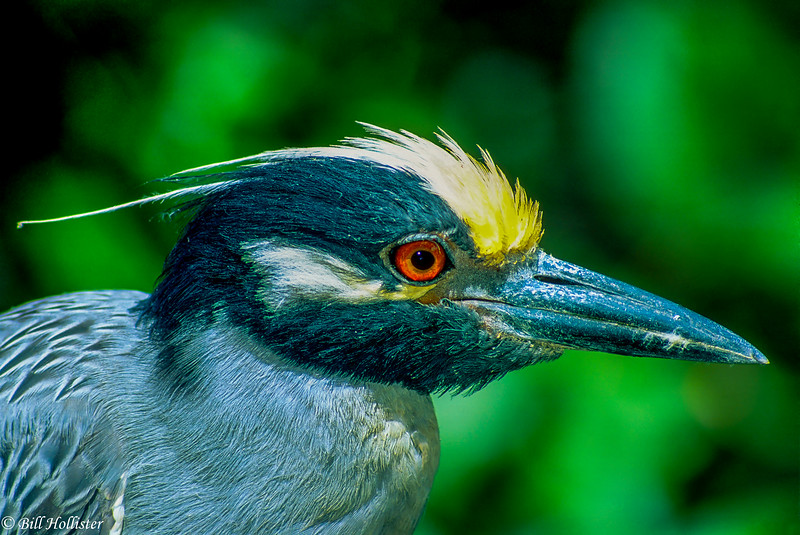 Yellow-Crowned Night Heron head shot at Ding Darling -a-Edit-2-2
