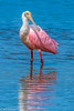 Roseate Spoonbill at Ding Darling 5-24-18-9-3-2