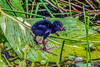 Purple Gallinule with chicks 7-13-2017-81