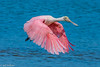 Roseate Spoonbill at Ding Darling 5-24-18-11-3-2