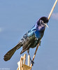 Boat-tailed Grackle at Celery Fields-2