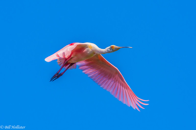 Roseate Spoonbill in flight at Corkscrew 3-2017-5-2