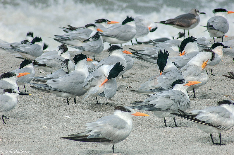 Royal Tern group by Gulf in Florida 4-05 #3-2-2