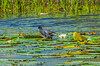 Common Gallinule with Lillies and Louts at Lake Osprey-1