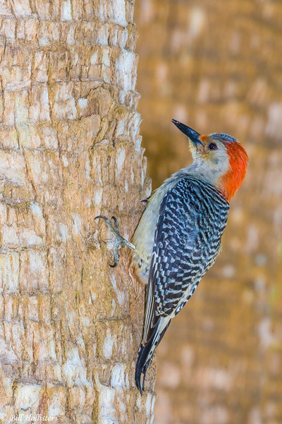 Red-belied Woodpecker at Corkscrew 3-29-2017-14