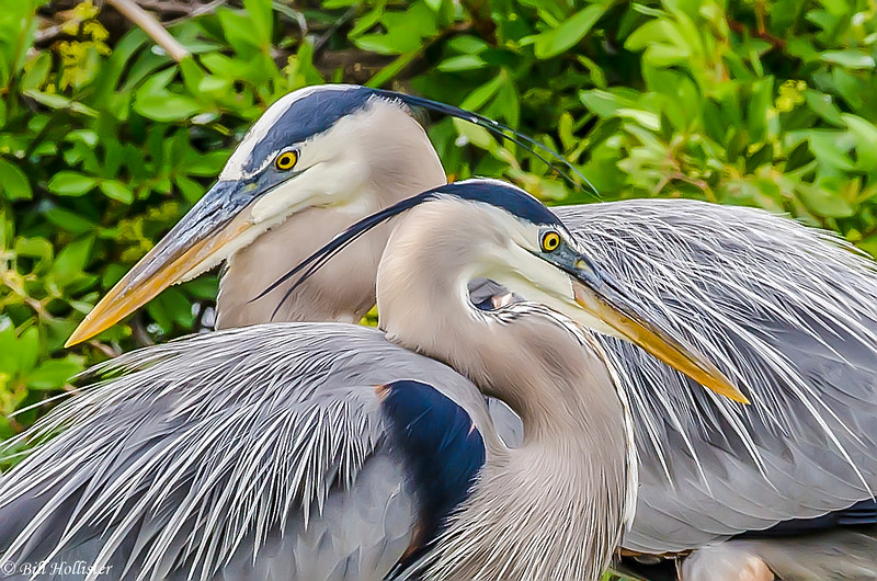 Great Blue Heron at Venice Rookery-85-2