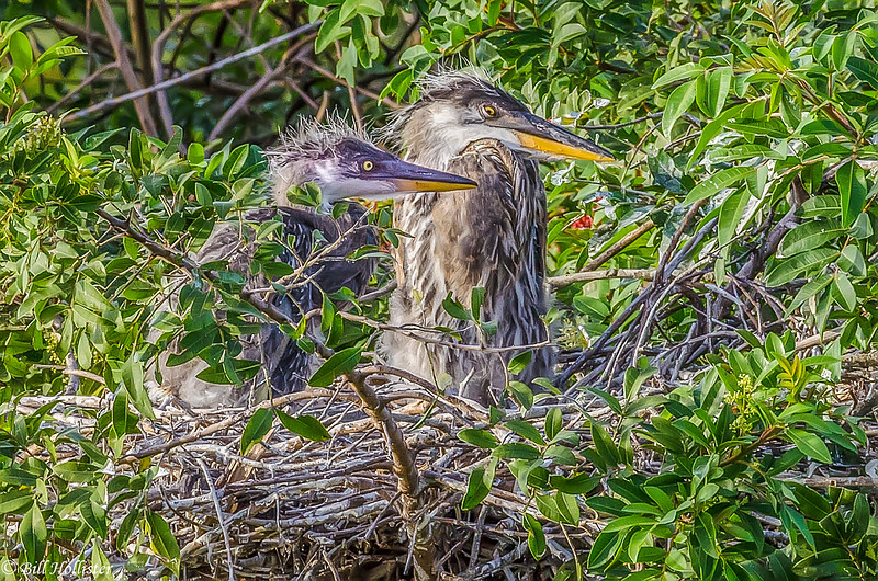 Great Blue Heron at Venice Rookery-173-2