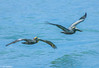 Brown Pelican pair soaring over Gulf-1