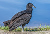 Black Vulture at Myakka-5
