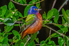 Painted Bunting at Ft DeSoto 4-16-18-55-2-4