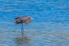 Reddish Egret at Ding Darling 3-2017-6