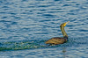 Double-crested Cormorant at Ballantrae 3-2012 #2