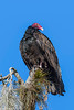 Turkey Vulture at Myakka-7-2