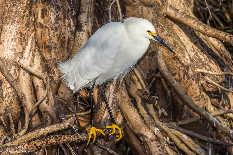 Snowy Egret at Corkscrew 3-2017-3