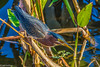 Green Heron at Celery Fields 2-5-18-7-4