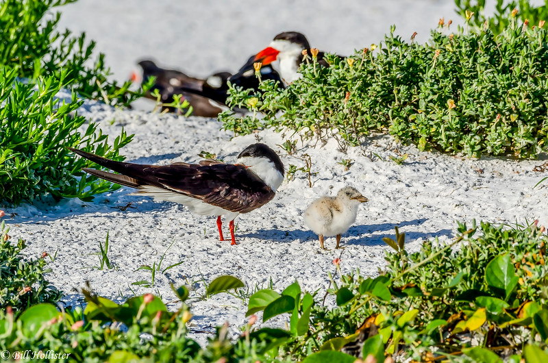 Black Skimmers at Lido 6-11-18-8-4