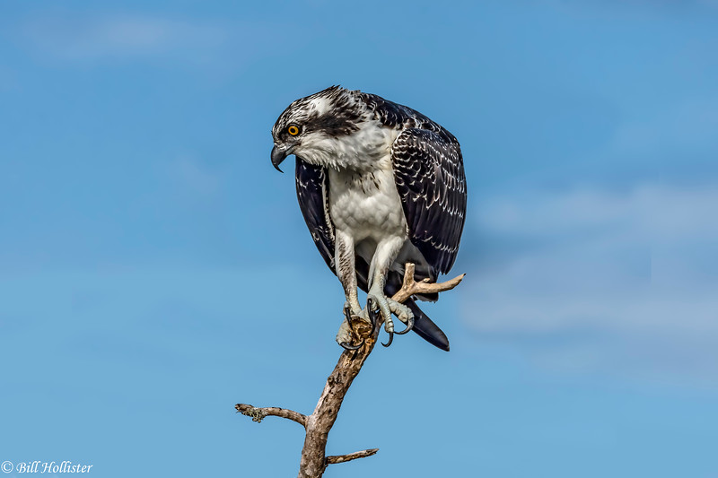 Osprey at Bailey Tract 5-24-18-15-4