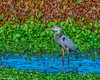 Great Blue Heron wading in creek -a2 cropped - sharpened