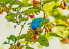 Indigo Bunting on mulberry branch #14-Edit-Edit