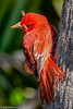 Summer Tanager at Ft DeSoto 4-16-18-4-2-3-2