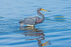 Tricolor Heron at Myakka-23-2