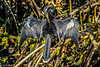 Anhinga drying wings #3b 12-07 Ding Darling