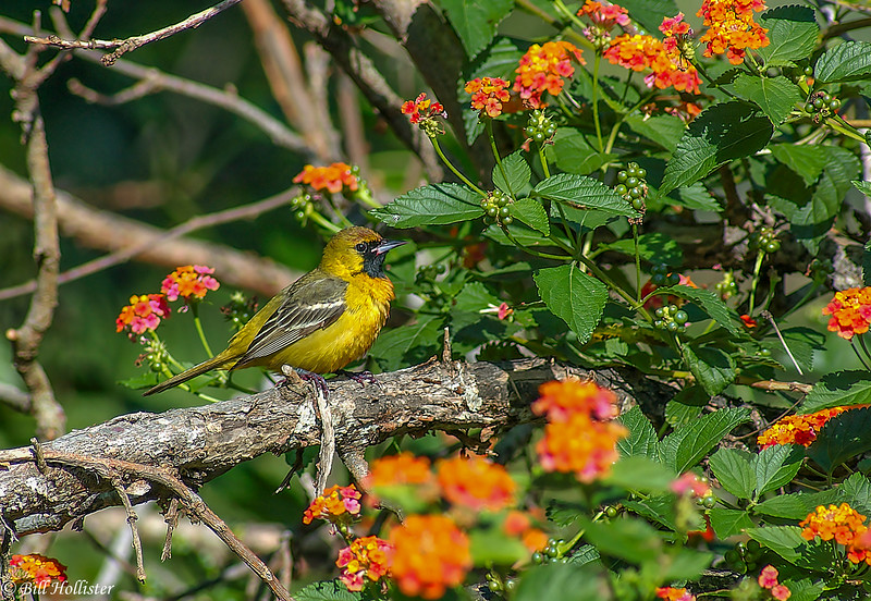 Orchard Oriole first-year Female on branch with lantana flowers #1