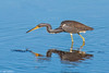 Tricolor Heron pose #6b 12-07 Ding Darling-Edit-2